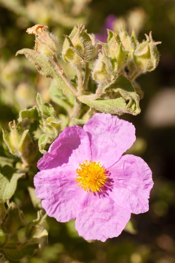 Cistaceae, цветки утеса розовые стоковые изображения rf
