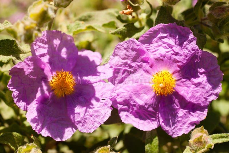 Cistaceae, цветки утеса розовые стоковые фотографии rf