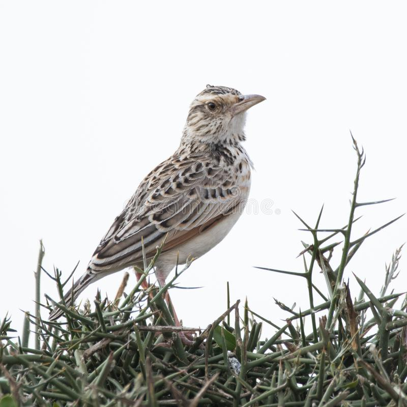 Perched Cisticola. A cisticola perched on thorn bushes in Nairobi National Park royalty free stock image