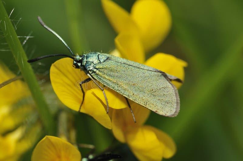 Cistus-Förster Moth stockbild