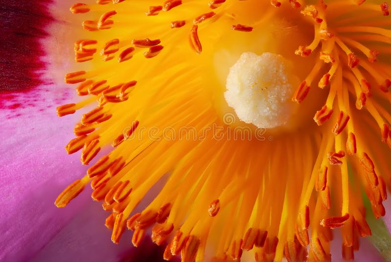Cistus flower stamen in super close macro. Beautiful Cistus flower head showing high macro detail of yellow stamen and pollen heads royalty free stock image