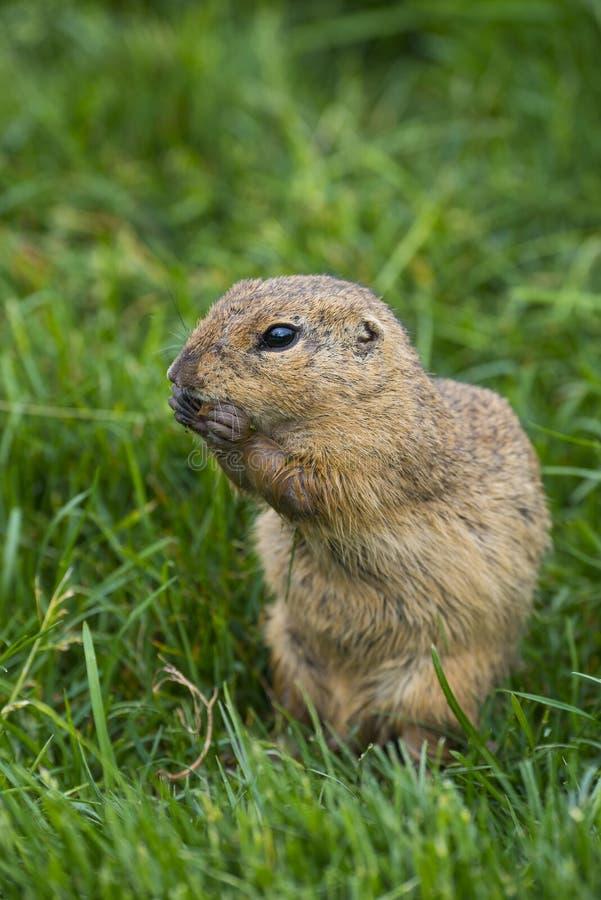 Citellus dello Spermophilus degli scoiattoli a terra immagine stock libera da diritti