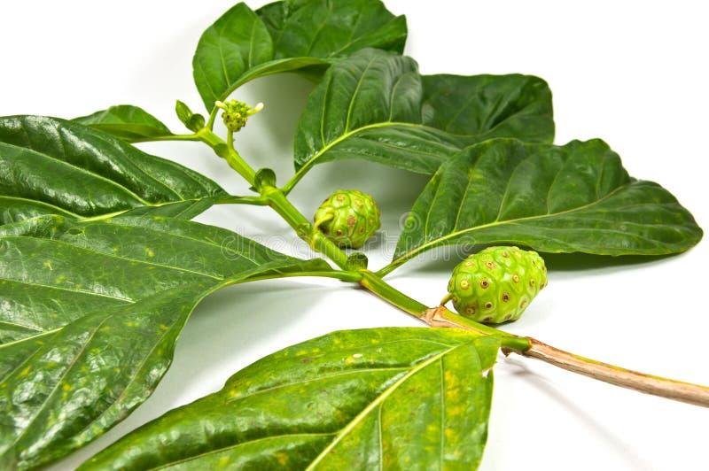 Citrifolia di Morinda fotografia stock libera da diritti