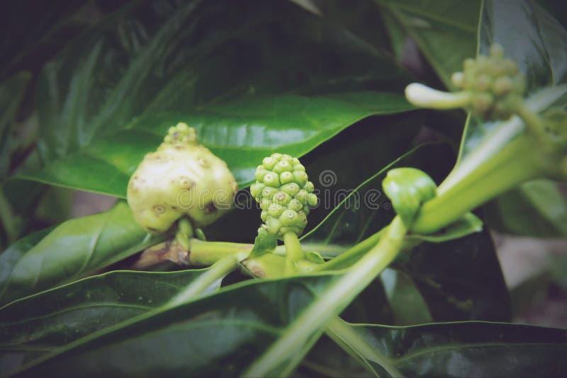Citrifolia Morinda, Noni стоковое фото rf