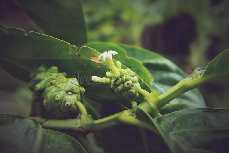 Citrifolia Morinda, Noni стоковое фото