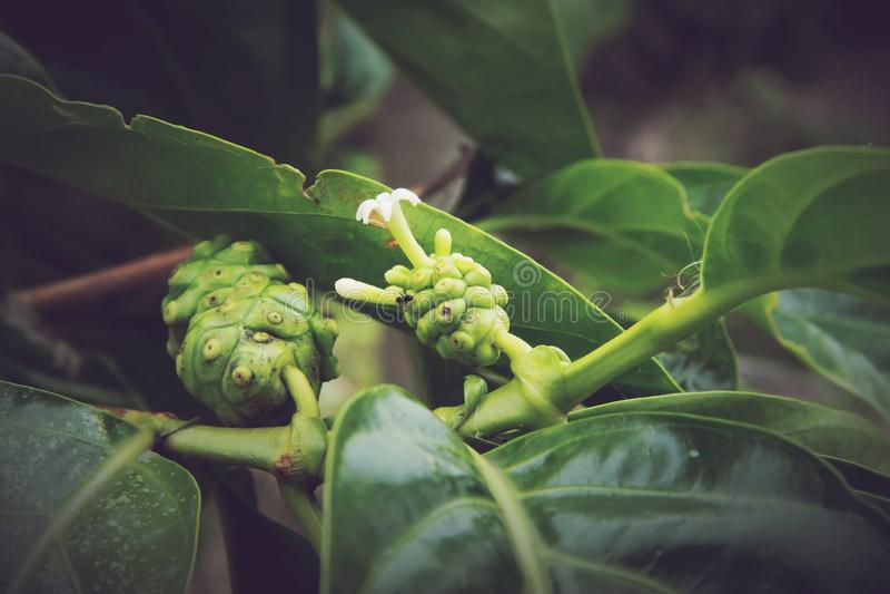 Citrifolia Morinda, Noni стоковое изображение rf