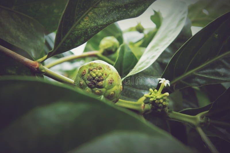 Citrifolia Morinda, Noni стоковые изображения rf
