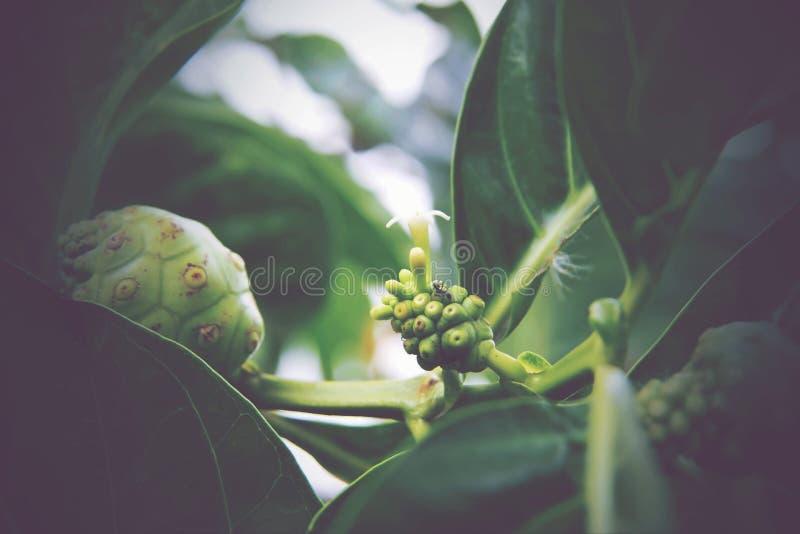 Citrifolia Morinda, Noni стоковая фотография rf
