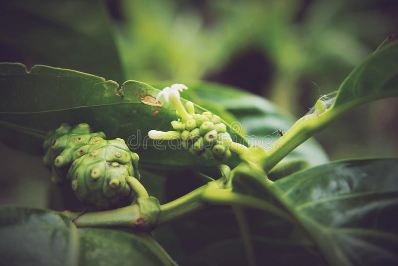Citrifolia Morinda, Noni стоковое изображение