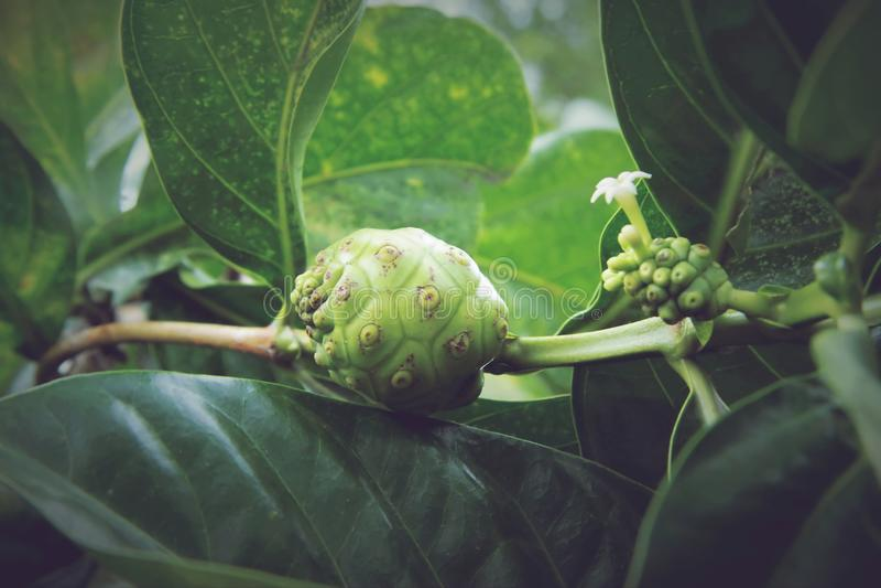 Citrifolia Morinda, Noni стоковые фотографии rf