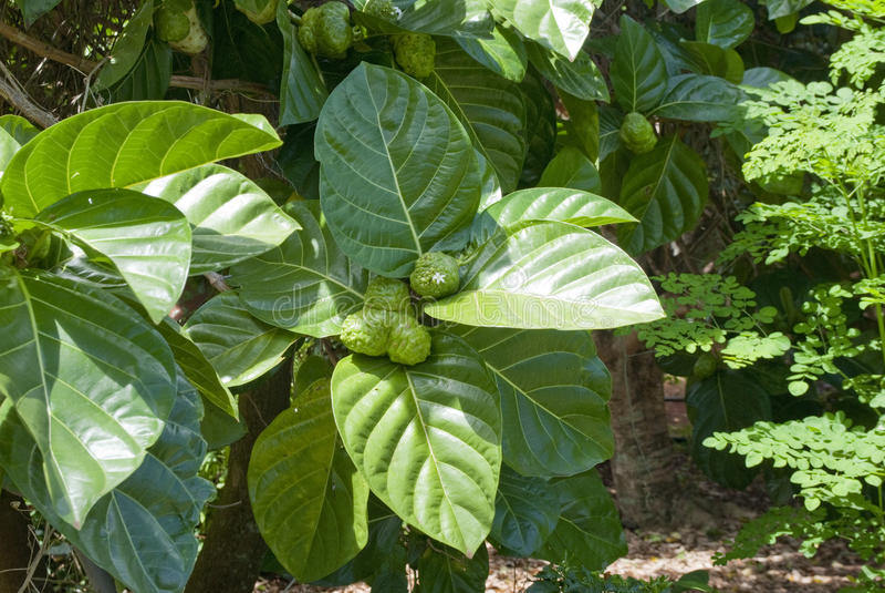 citrifolia morinda noni 库存图片