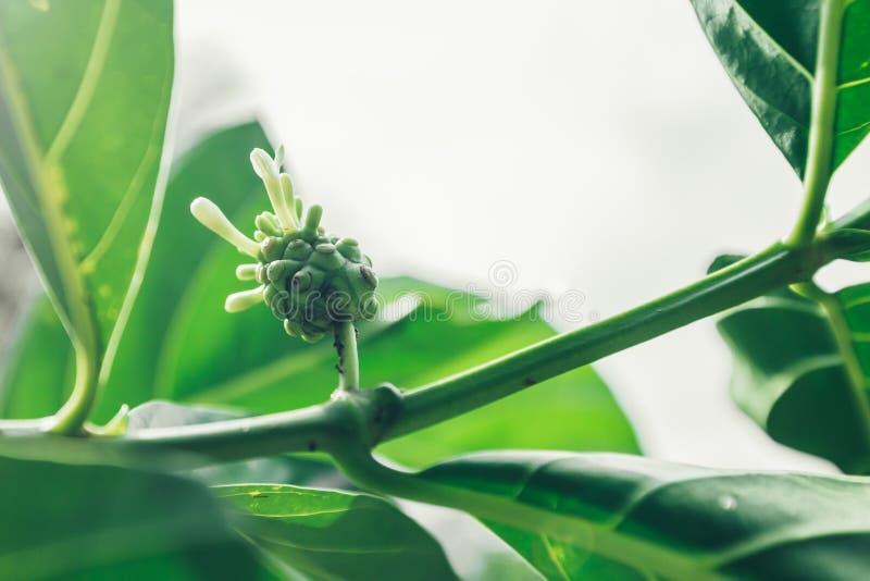 Citrifolia Noni или Morinda, большое morinda, индийская шелковица стоковое изображение rf