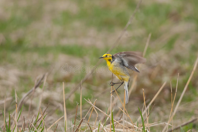Citrine Wagtail. Landing on a reed stem royalty free stock images