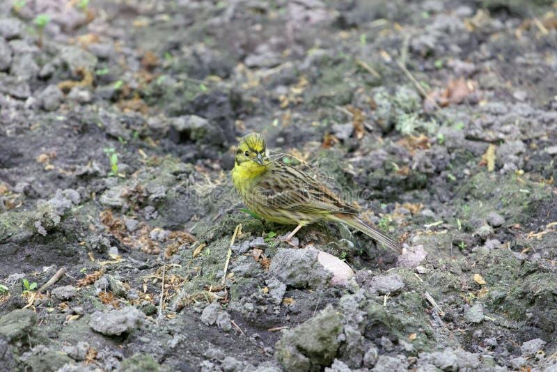 Citrinella van Emberiza van de Yellowhammervogel op donkere bruine grond stock foto's