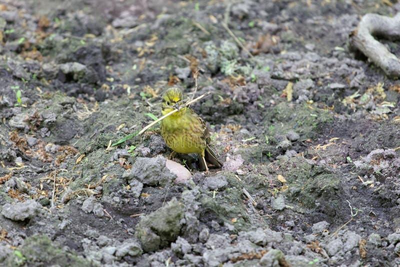 Citrinella van Emberiza van de Yellowhammervogel op donkere bruine grond royalty-vrije stock afbeeldingen