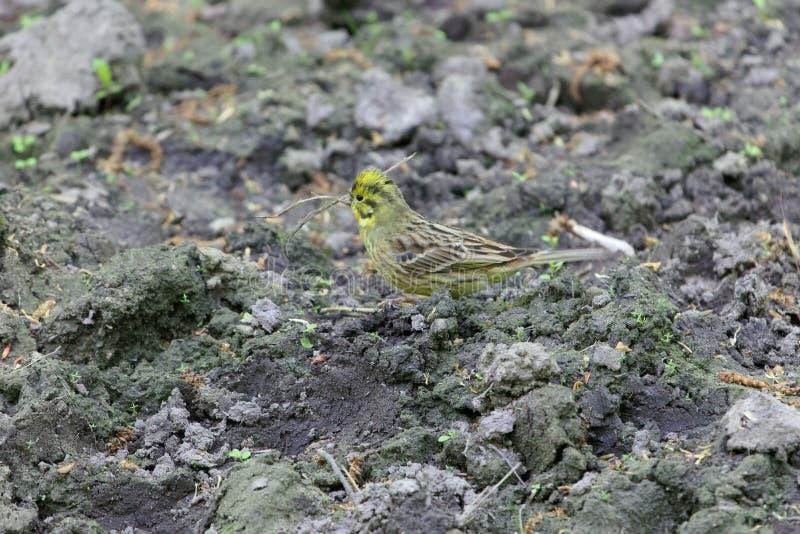 Citrinella van Emberiza van de Yellowhammervogel op donkere bruine grond stock fotografie