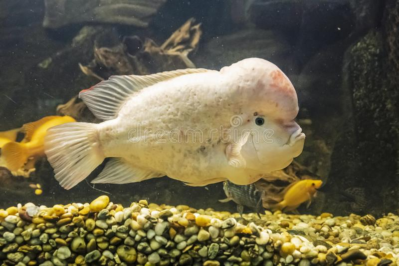Citrinellus Amphilophus, μεγάλα ψάρια cichlid ενδημικά στοκ εικόνες