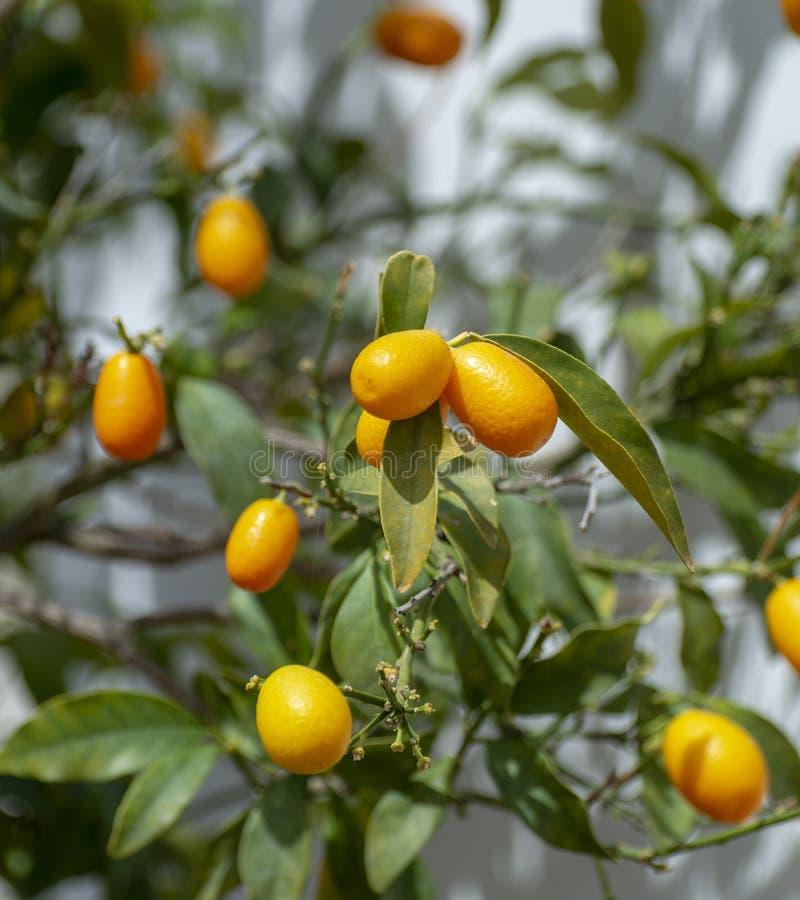 Citrinos amarelos maduros do kumquat na árvore pronta para colher fotos de stock royalty free