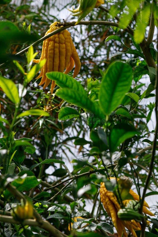 Citrinos cors de limão apontados da mão de uma Buda amarela fotografia de stock royalty free