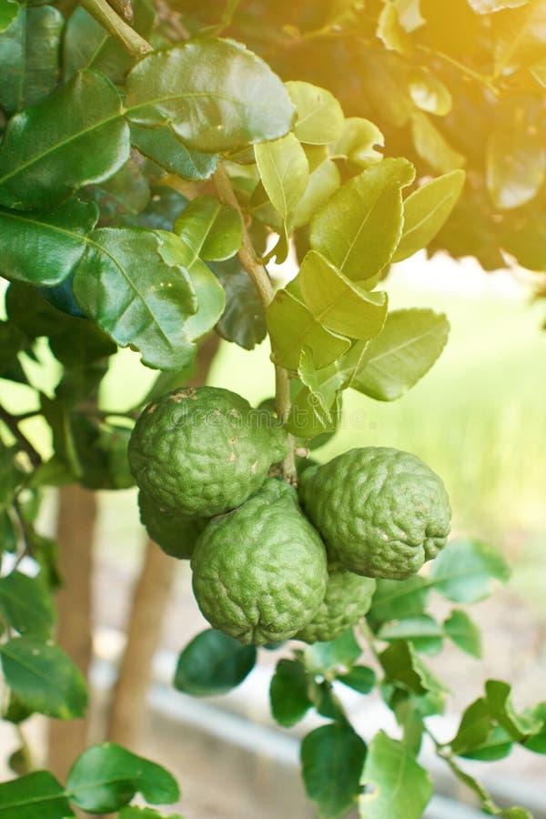 Citrinos oraganic das bergamotas imagem de stock royalty free