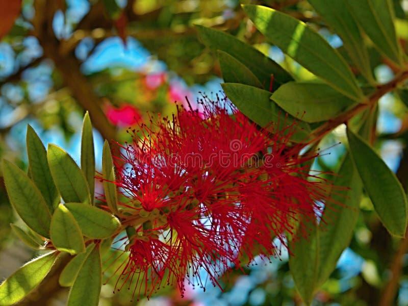 Citrinus cramoisi de bottlebrush-Callistemon photo libre de droits