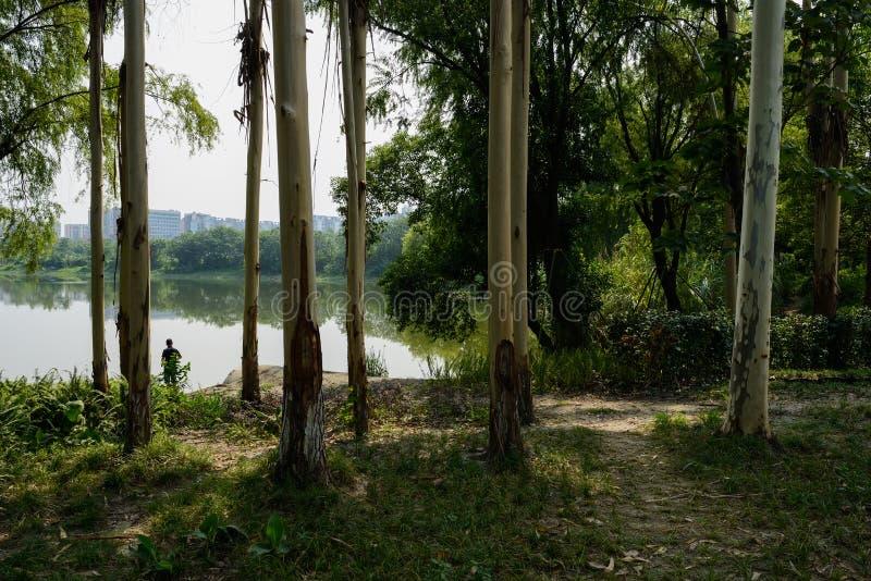 Citriodora treeseucalyptus όχθεων της λίμνης στην πόλη την ηλιόλουστη θερινή ημέρα στοκ φωτογραφίες