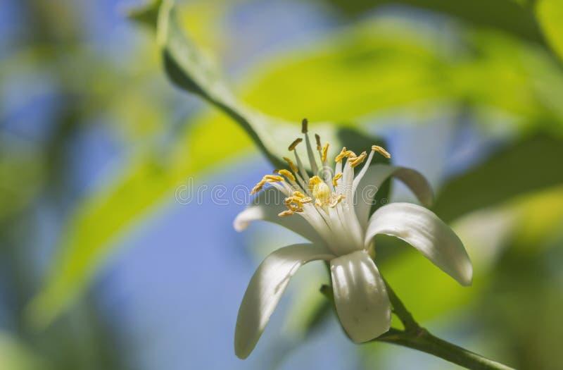 Citroen en bloem stock afbeeldingen