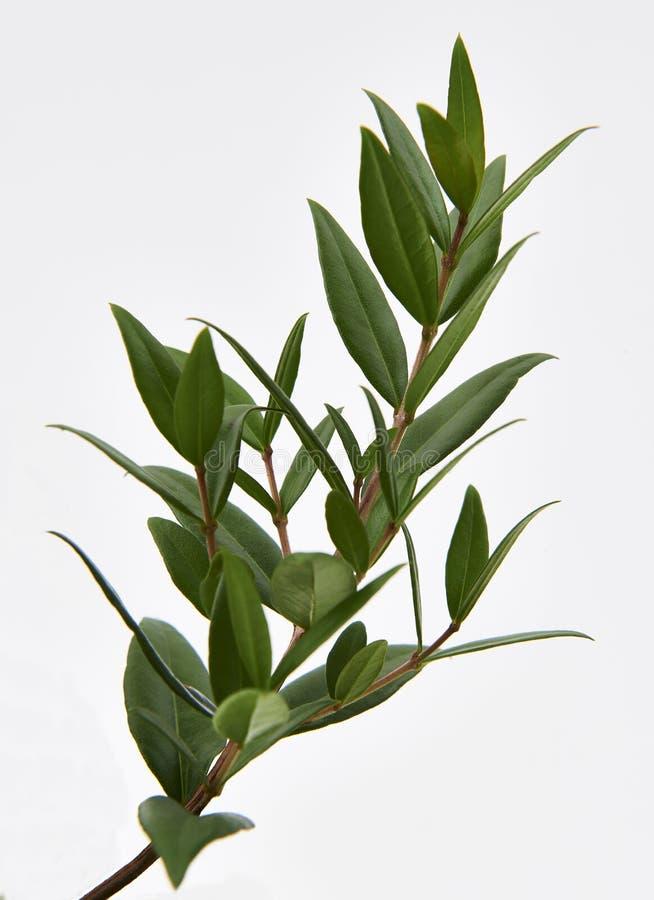 Citroen Myrtle Plant stock afbeelding