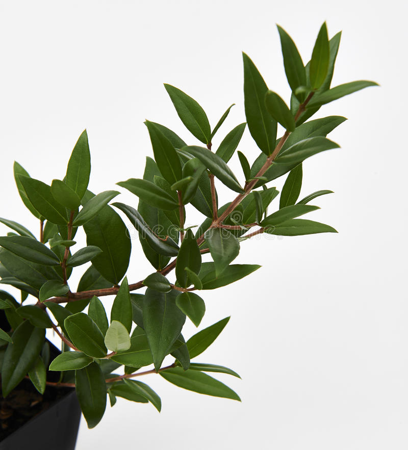 Citroen Myrtle Plant royalty-vrije stock afbeelding