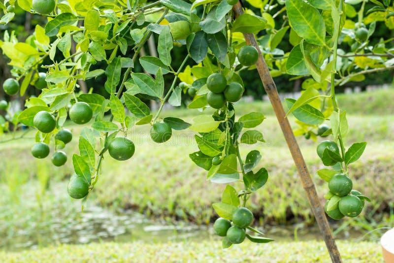 Citroen op de boom in de tuin royalty-vrije stock afbeelding