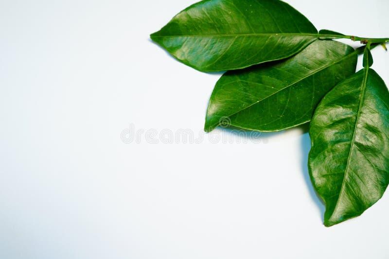 Citroenbladeren op een witte achtergrond stock fotografie