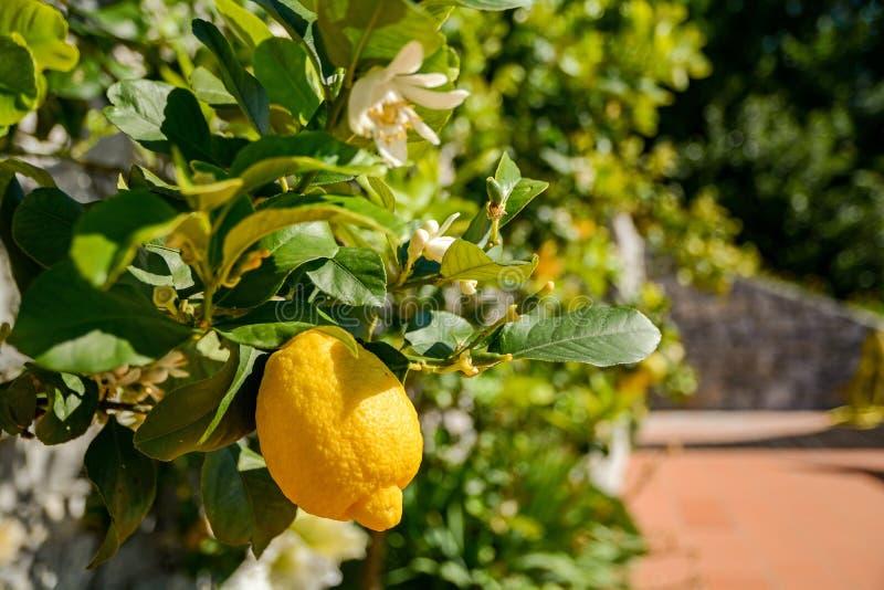 Citroenboom met rijpe vruchten in een Italiaanse tuin dichtbij de Middellandse Zee, Italië royalty-vrije stock afbeeldingen