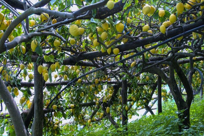 Citroenbosje in Ravello, Italië stock afbeelding