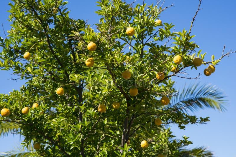 Citroenen die in een tuin in Perth, Westelijk Australië groeien royalty-vrije stock afbeeldingen