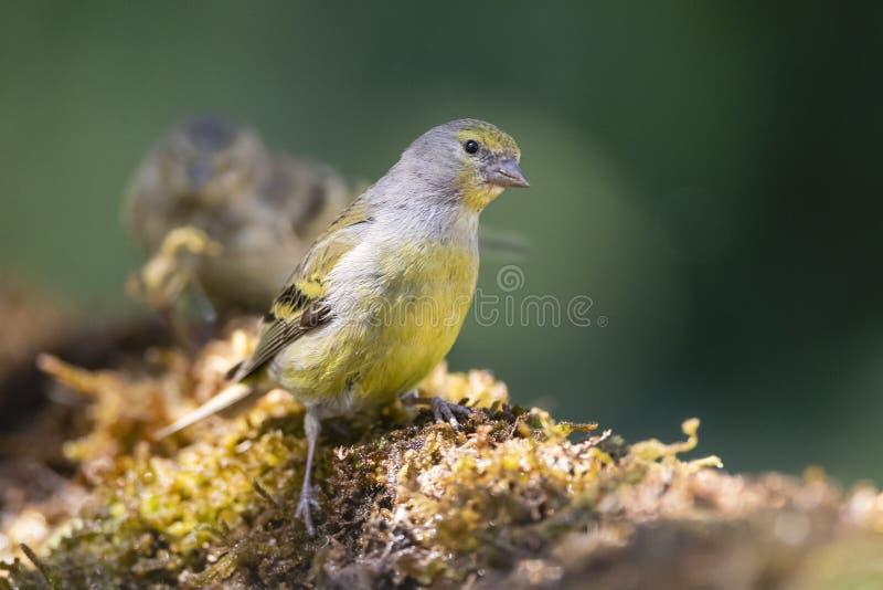 Citroenkanarie, Finch Citril, citrinella Serinus στοκ εικόνες