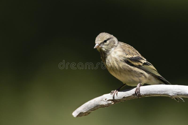 Citroenkanarie, Finch Citril, citrinella Serinus στοκ εικόνα με δικαίωμα ελεύθερης χρήσης