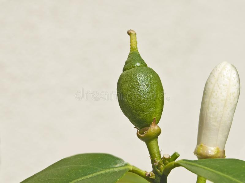 Citron. A closed blossom of a citron with an unripe fruit royalty free stock images