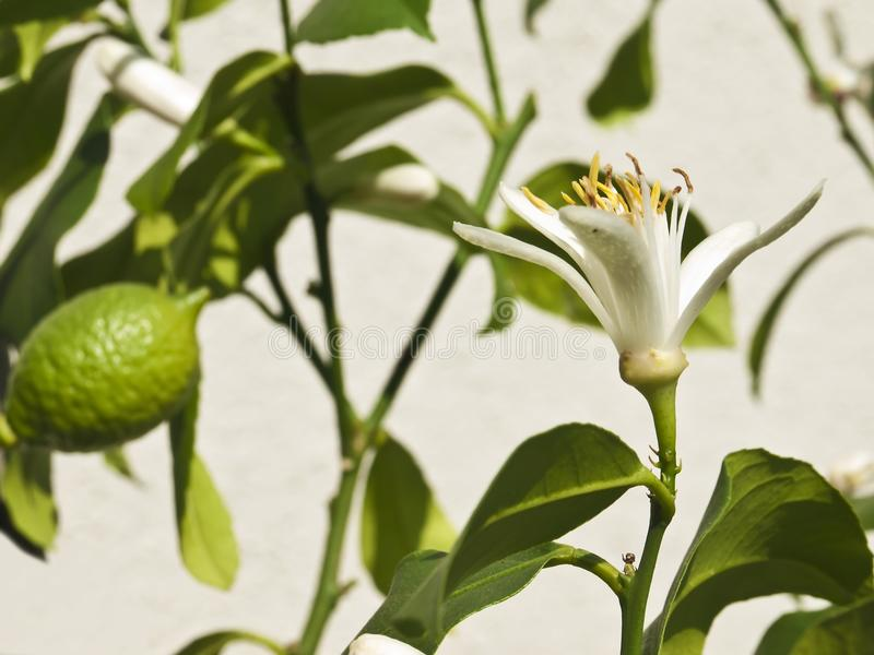 Citron. A closed blossom of a citron with an unripe fruit stock photos