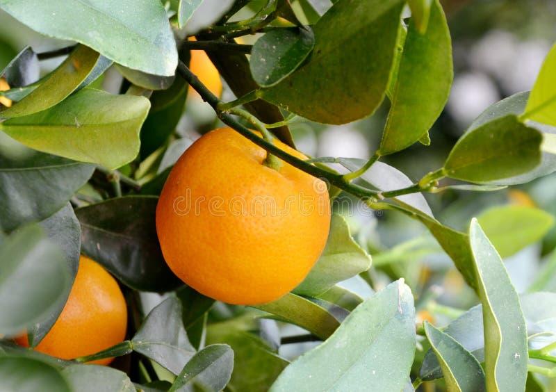 citron foto de stock royalty free