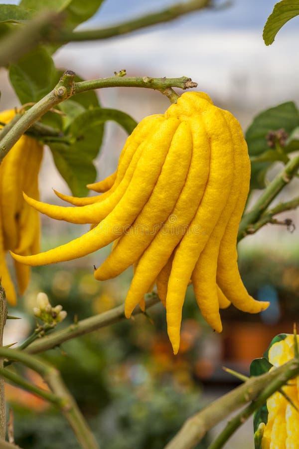 Citron stock images
