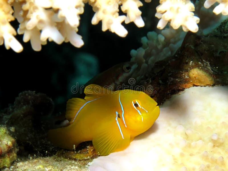 Citron coral goby. (gobiodon citrinus). Taken at Ras Mohamed in Sharm el Sheikh stock photo