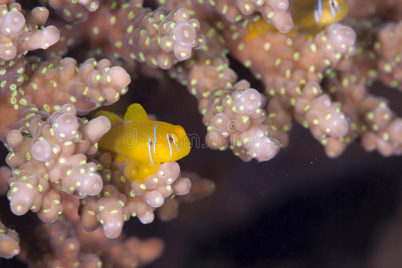 Citron coral goby. Taken in the red sea royalty free stock images