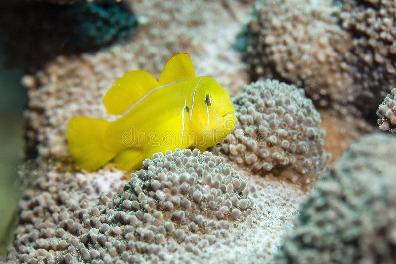Citron coral goby. (gobiodon citrinus)taken in the red sea royalty free stock image
