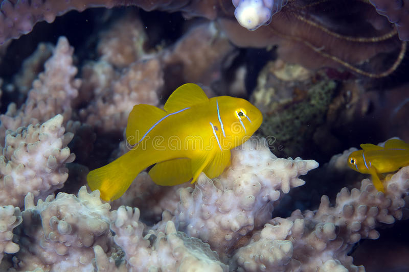 Citron coral goby (gobiodon citrinus) in the Red Sea. Citron coral goby in the Red Sea stock photo