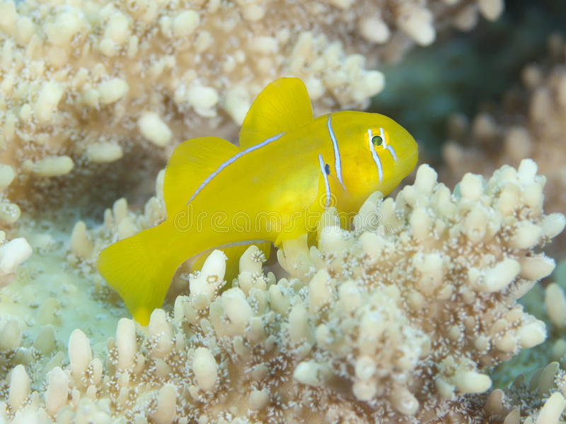 Citron coral goby. In red sea royalty free stock images