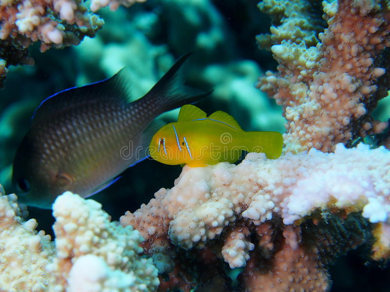 Citron Coral Goby on Stag Acropora Coral. Damselfish in background royalty free stock image