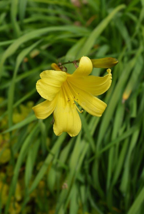 Citron daylily. Latin name - Hemerocallis citrina royalty free stock photography