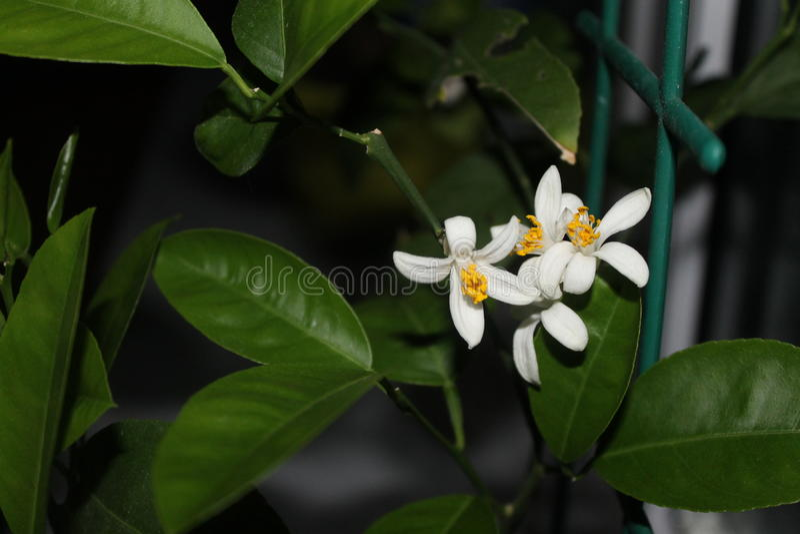 Citron et fleur photo libre de droits