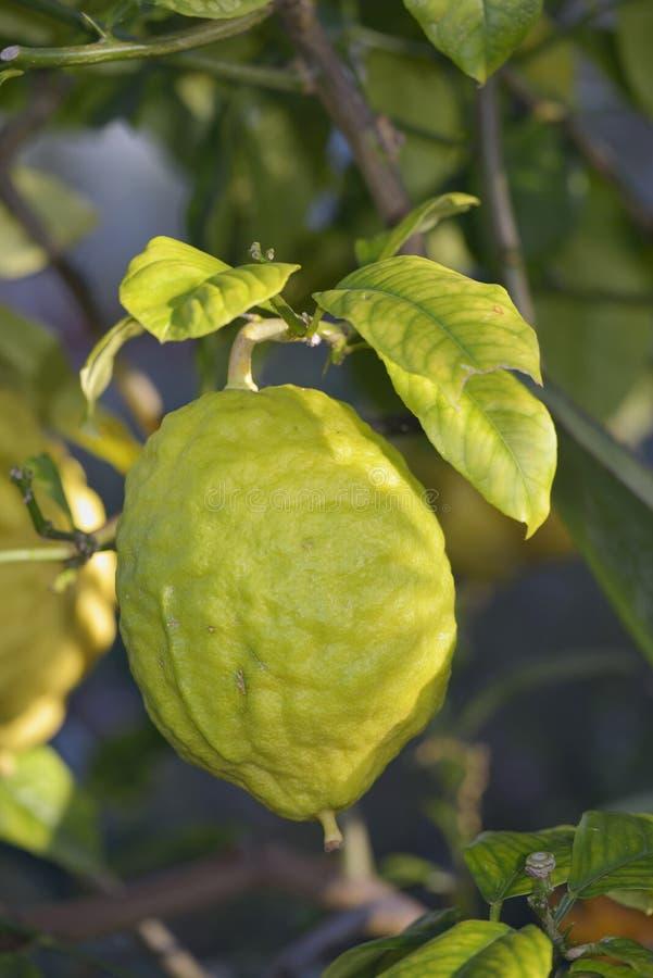 Download Citron Fuit stock photo. Image of bush, zest, leaves - 50369098
