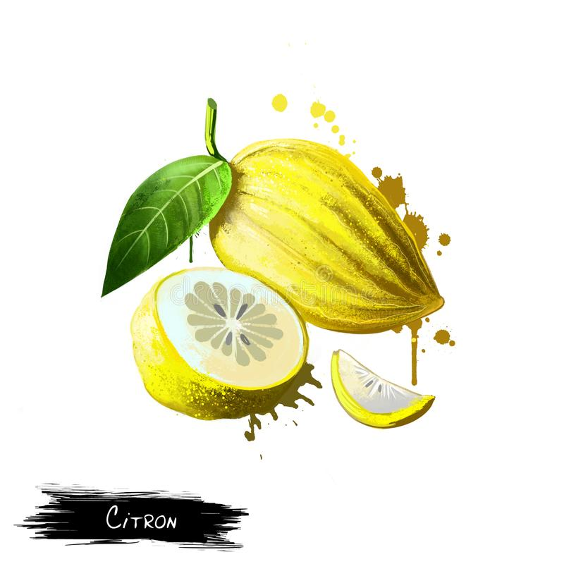 Citron isolated on white. Fruits collection. Digital art. Citron isolated on white. Citron large fragrant citrus fruit with thick rind, botanically classified as vector illustration